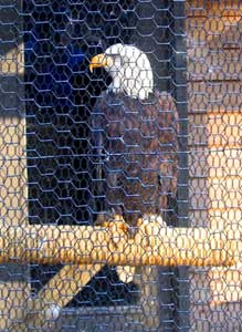 Bald Eagle in Zoo